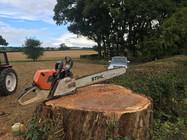 large oak felled in ludlow