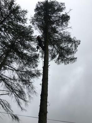 large conifer remov