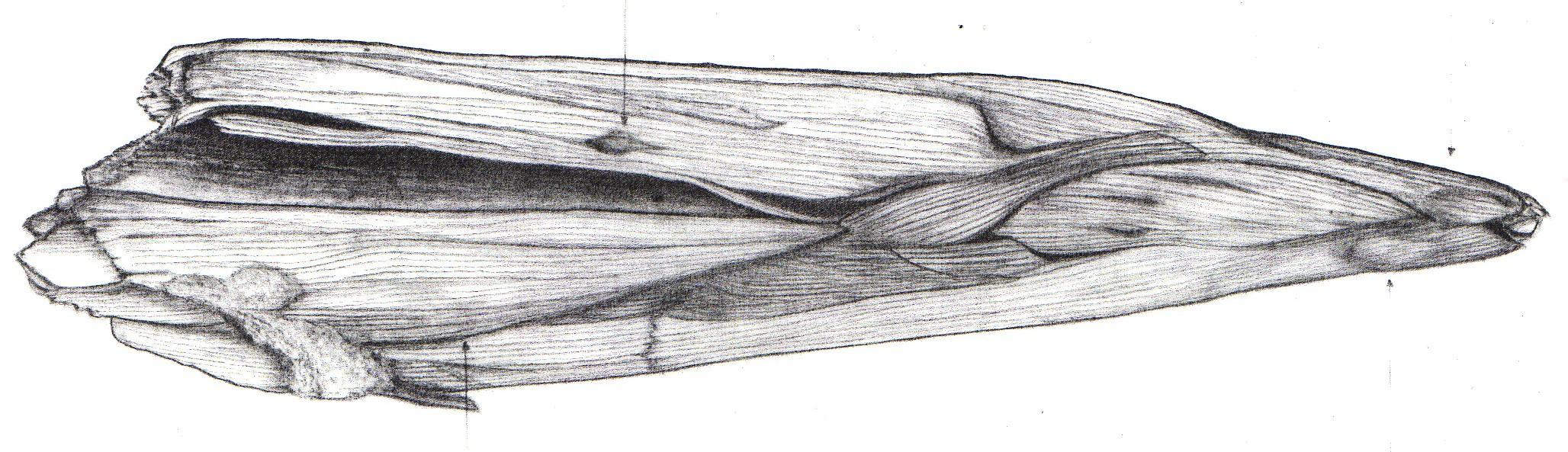 Bronze age - wooden stake Fulacht Fia (3