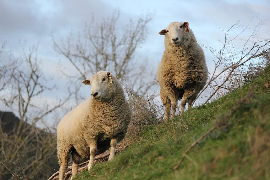 Coopworth Rams