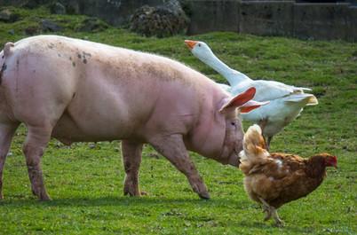 Schwein-Huhn-Gans regenerativ.jpg