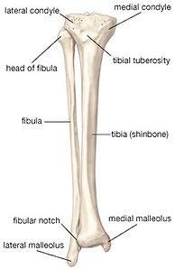 Tibia-or-Fibula.jpg