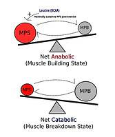 MPS anabolic and catabolic.png