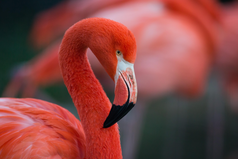 Flamingo shutterstock_563953057 copy