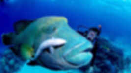 Maori Wrasse on the reef