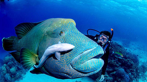 Maori Wrasse on Great barrier Reef