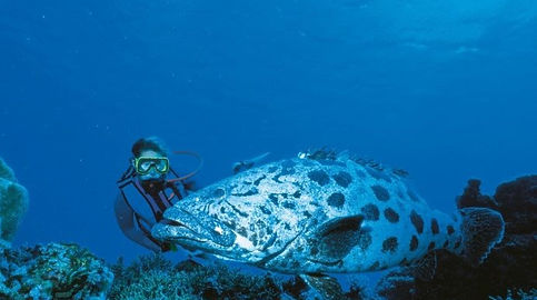 Giant Spotted Cod on Outer Reef