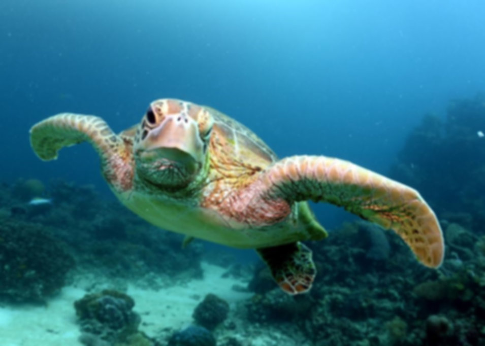 Great Barrier Reef sea turtle