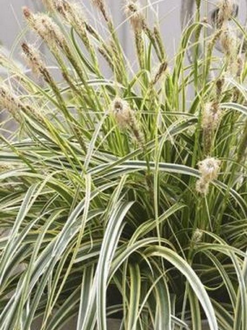 "Carex ""Feather Falls"""