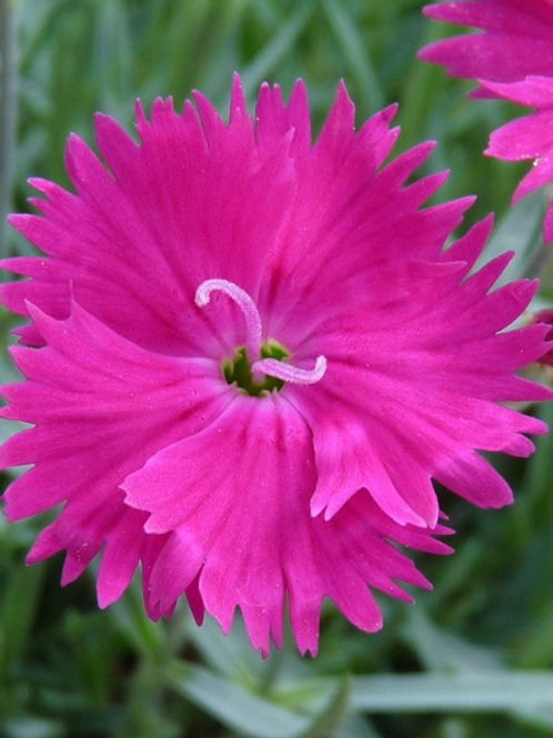 Dianthus 'Whetman Star' 'Neon Star'