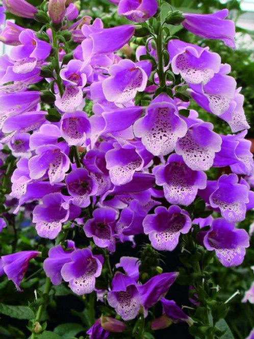 Digitalis Purpurea 'Dalmatian Purple'