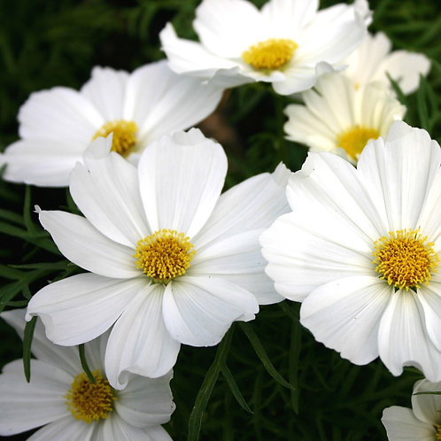 Box of White Cosmos