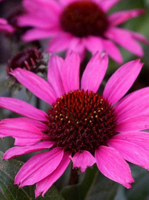 Echinacea Sunseekers In Tanz Magenta