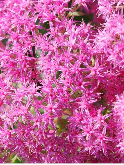 Sedum Spectabile 'Pink Bomb'