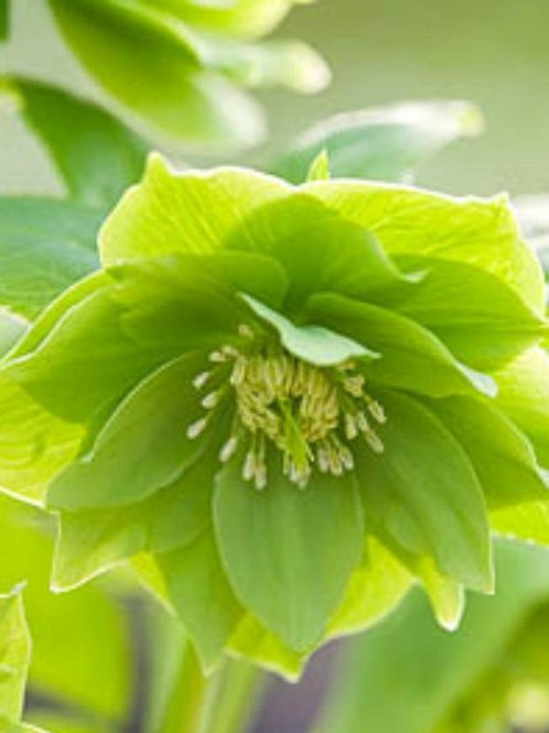 Helleborus X Hybridus 'Double Green'