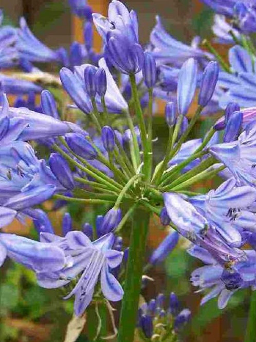 Agapanthus 'Blue Umbrella'