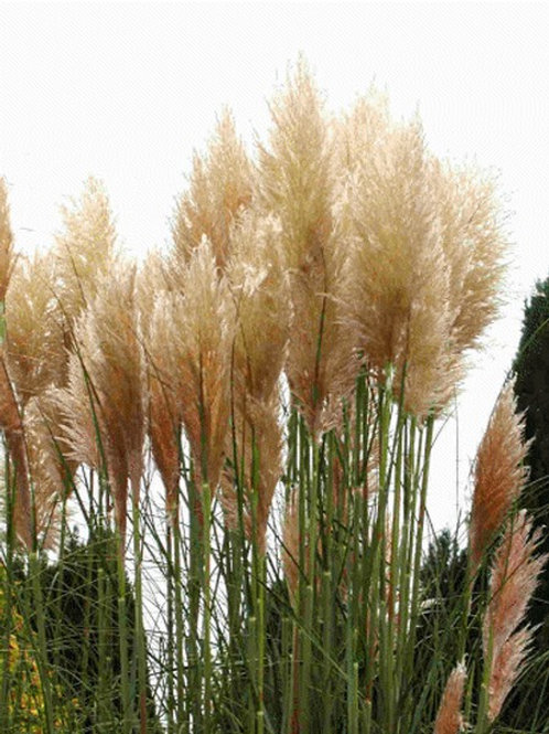 "Cortaderia selloana ""Pink Feather"""