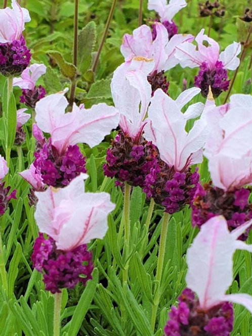 Lavandula stoechas 'Madrid Bella Pink'