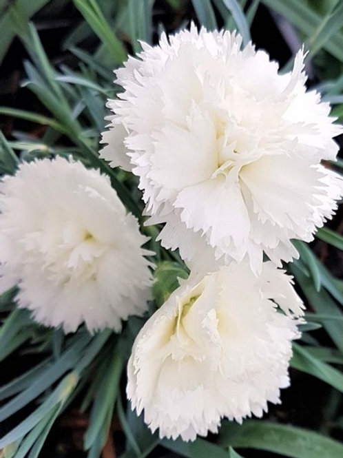 Dianthus 'Early Birds' Arctic Star
