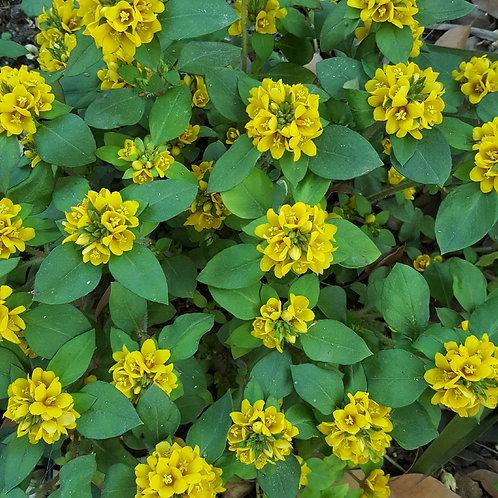 Lysimachia Congestifolia