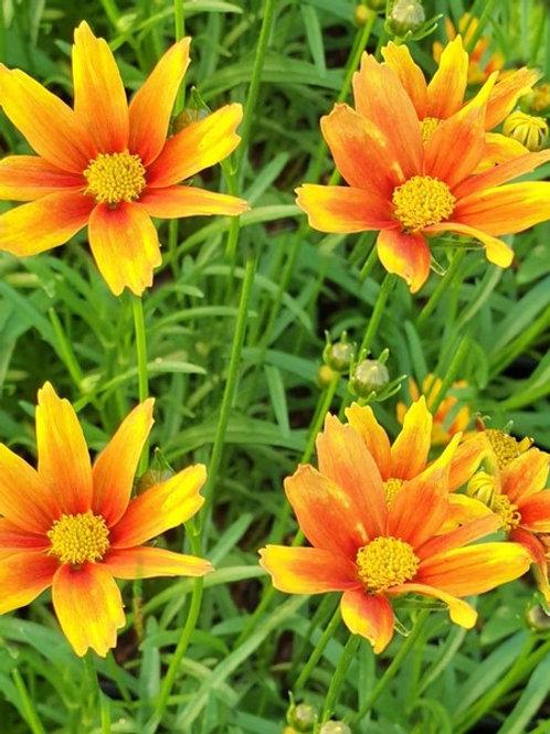 """Coreopsis Li""""l Bang """"Orange Elf"""""""