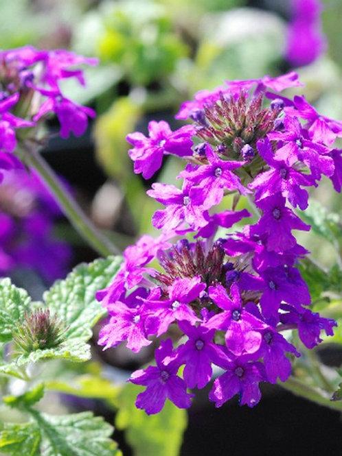 Verbena 'Homestead Purple