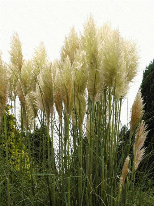 "Cortaderia selloana ""White Feather"""