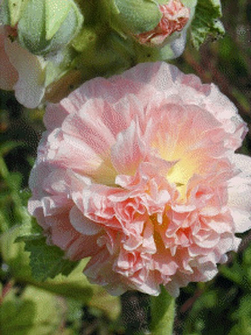 Alcea Rosea 'Chaters Double Salmon Pink'