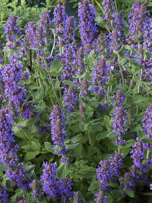 Nepeta Purple Haze