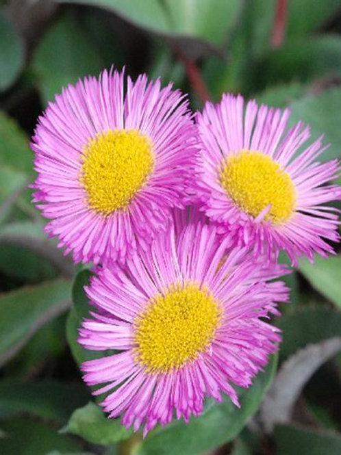 "Erigeron ""Pink Jewel """
