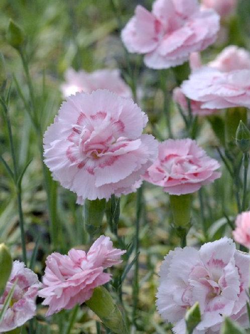 """Dianthus """"Doris """""""
