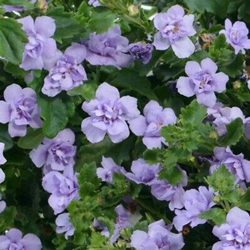 Bacopa Baristo Double Lavender