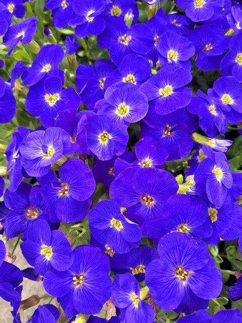 Aubrieta 'Kitte Blue'
