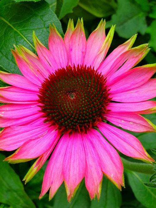 """Echinacea purpurea """"Green Twister"""""""