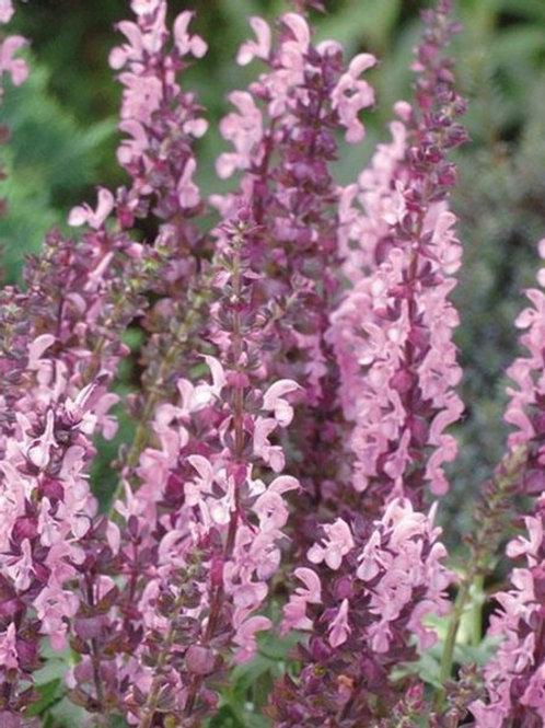 "Salvia nemerosa Salute ""Light Pink"""