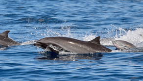 Les dauphins du Carbet avec capitaine Toch