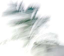 Palms in the wind - דקלים ברוח