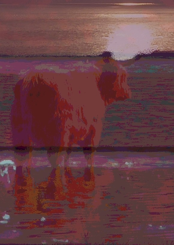 Boatyard Dreams Highland Cattle