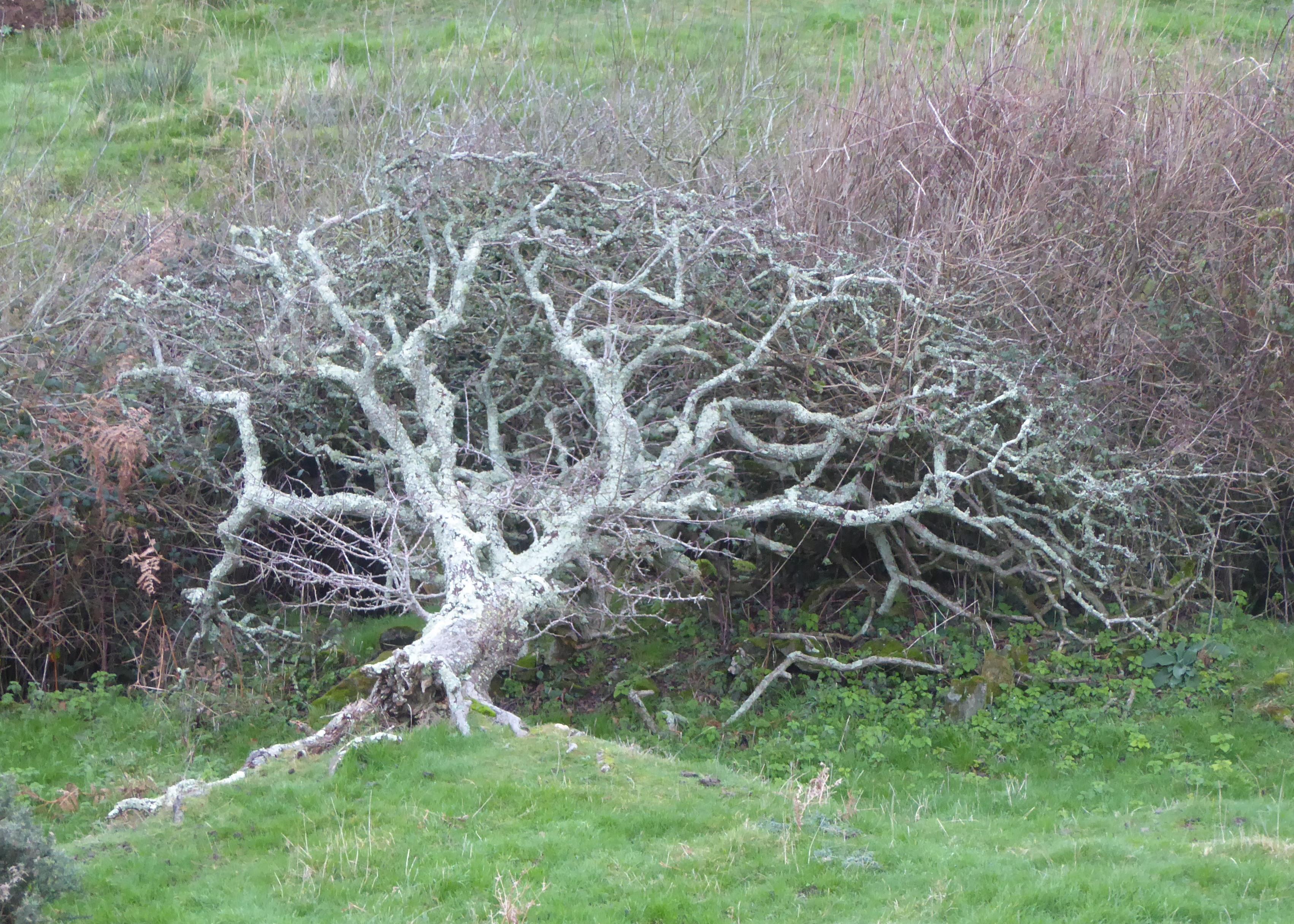 Fallen Hawthorn