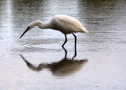 Egret from the TIdal Road