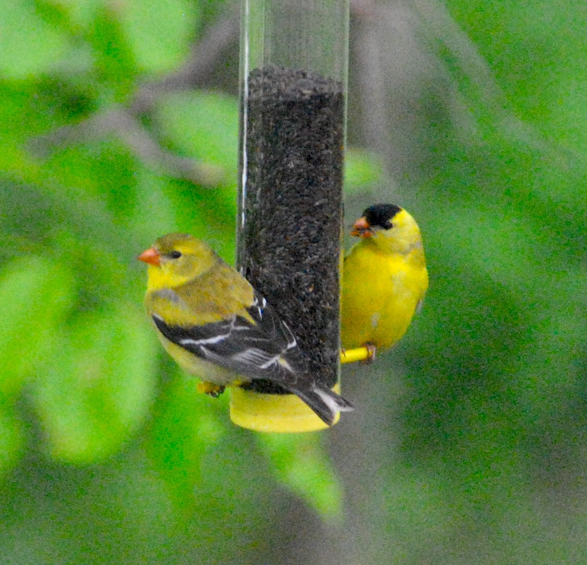Finches 3