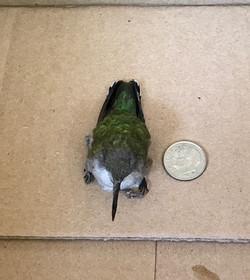 Baby Hummingbird 2