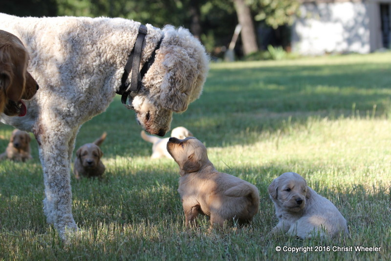 Parents with pups.JPG