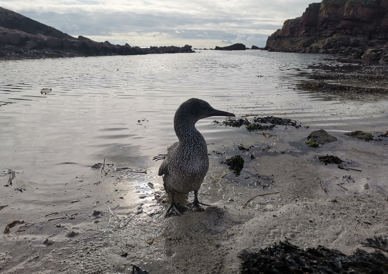 Stanley the gannet at Boat Bay Clachtoll!