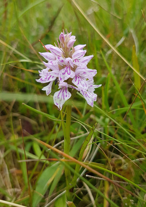 Wild orchid Assynt