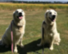 Two hot, but happy, retrievers today! (B