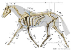 equine-lateral-skeletal-anatomy-number