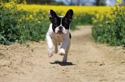 Pied French Bulldog