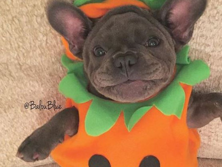 FRENCHIE HALLOWEEN by Sharifa Washington