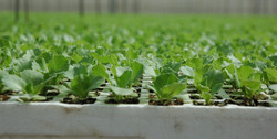 DFI-salad-fruit-produce-importer-UK5
